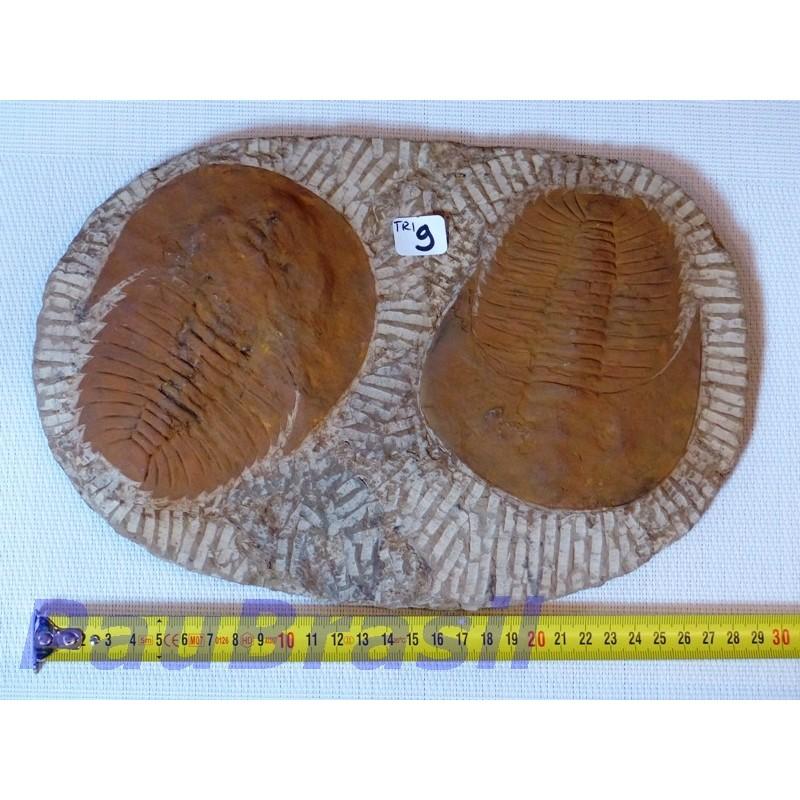 Trilobite sur gangue 1850g 29x20cm